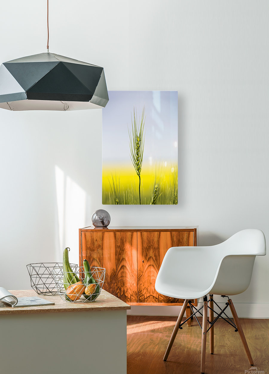 Close up of a green wheat head with the yellow colour of a flowering canola field in the background and blue sky; Acme, Alberta, Canada  HD Metal print with Floating Frame on Back