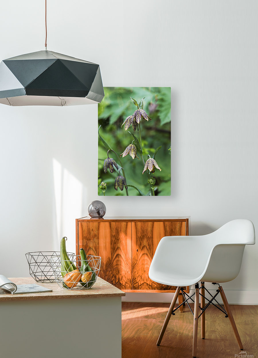 Mission Bells (Fritillaria) grow beside the trail; Hamlet, Oregon, United States of America  HD Metal print with Floating Frame on Back