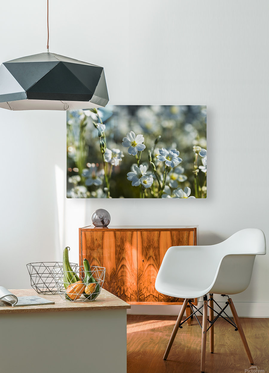 Chickweed (Stellaria media) blooms profusely in the spring; Astoria, Oregon, United States of America  HD Metal print with Floating Frame on Back