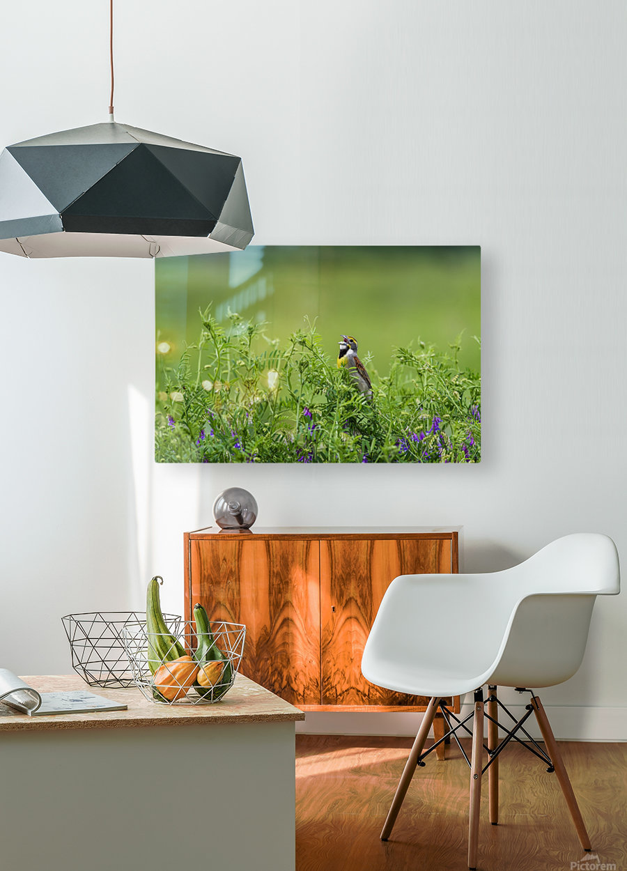 A male Dickcissel (Spiza americana) singing; Vian, Oklahoma, United States of America  HD Metal print with Floating Frame on Back