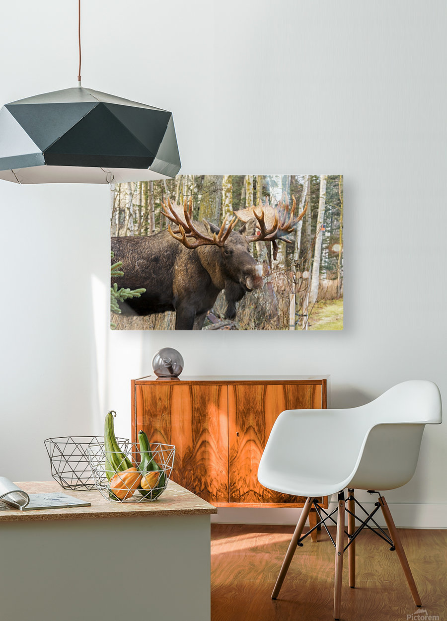 Bull moose (alces alces), rutting season; Alaska, United States of America  HD Metal print with Floating Frame on Back
