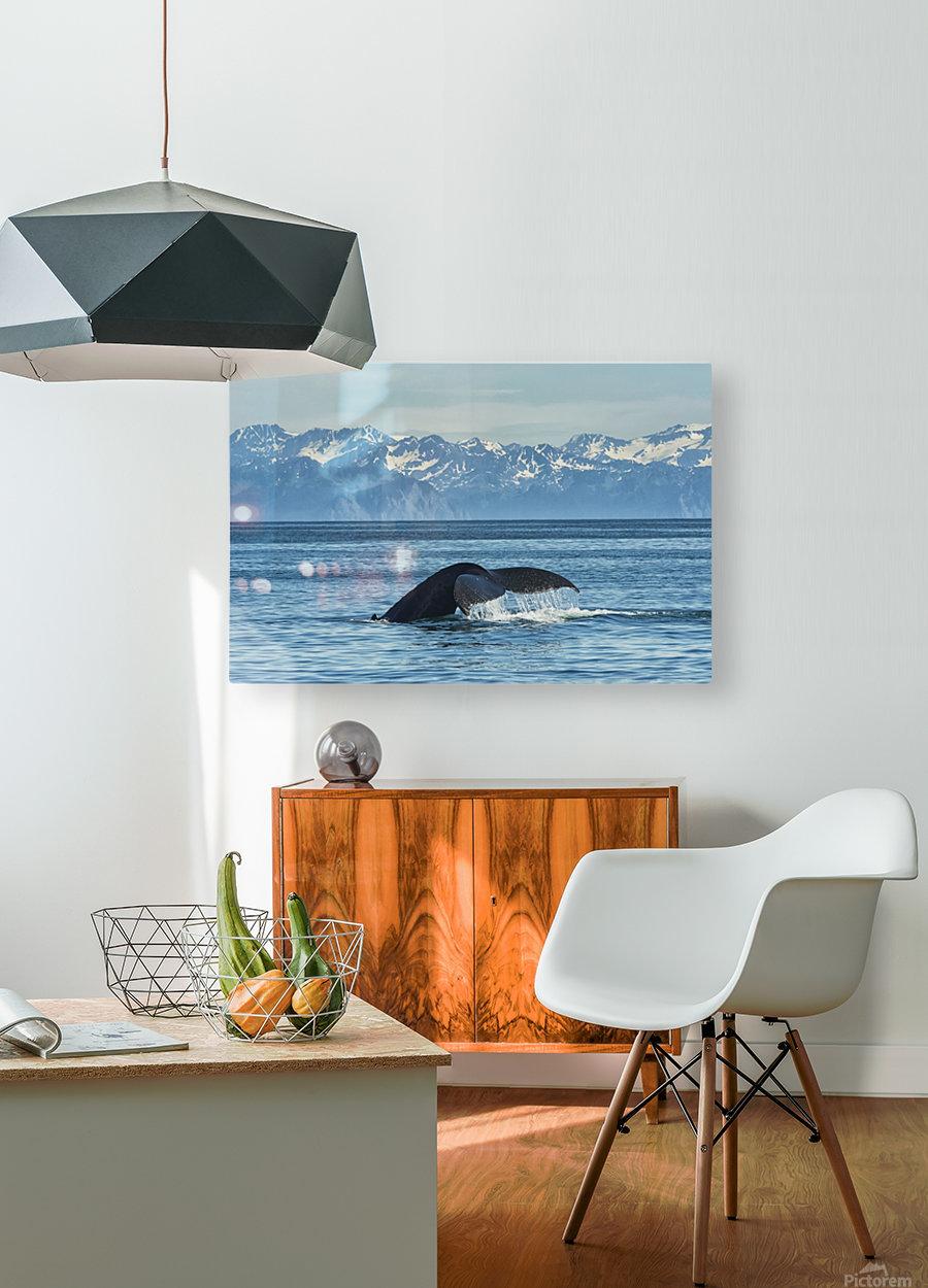 Humpback whale (Megaptera novaeangliae) in Seward harbour; Seward, Alaska, United States of America  HD Metal print with Floating Frame on Back