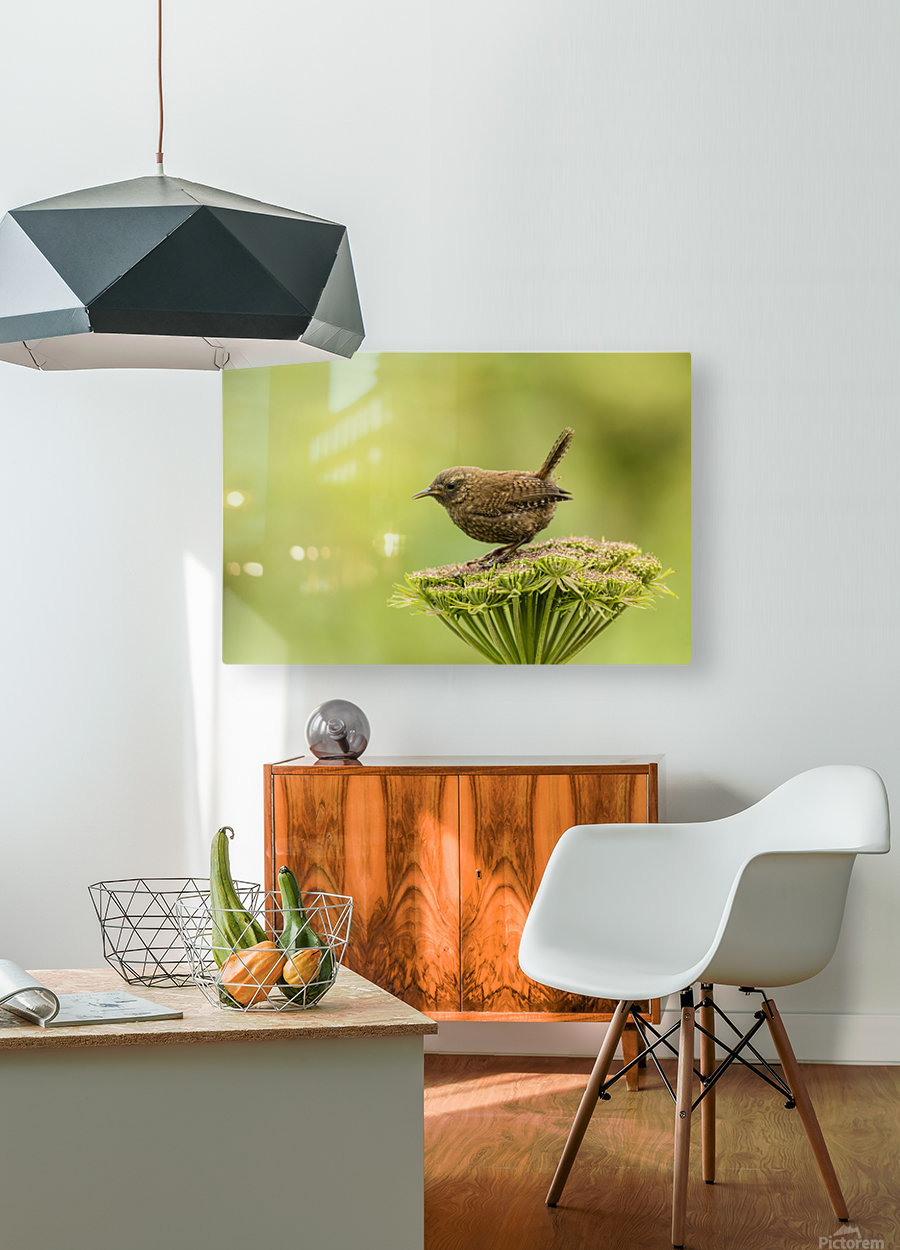 Pacific wren (Troglodytes pacificus) perched on wild celery on St. Paul Island in Southwest Alaska; St. Paul Island, Pribilof Islands, Alaska, United States of America  HD Metal print with Floating Frame on Back