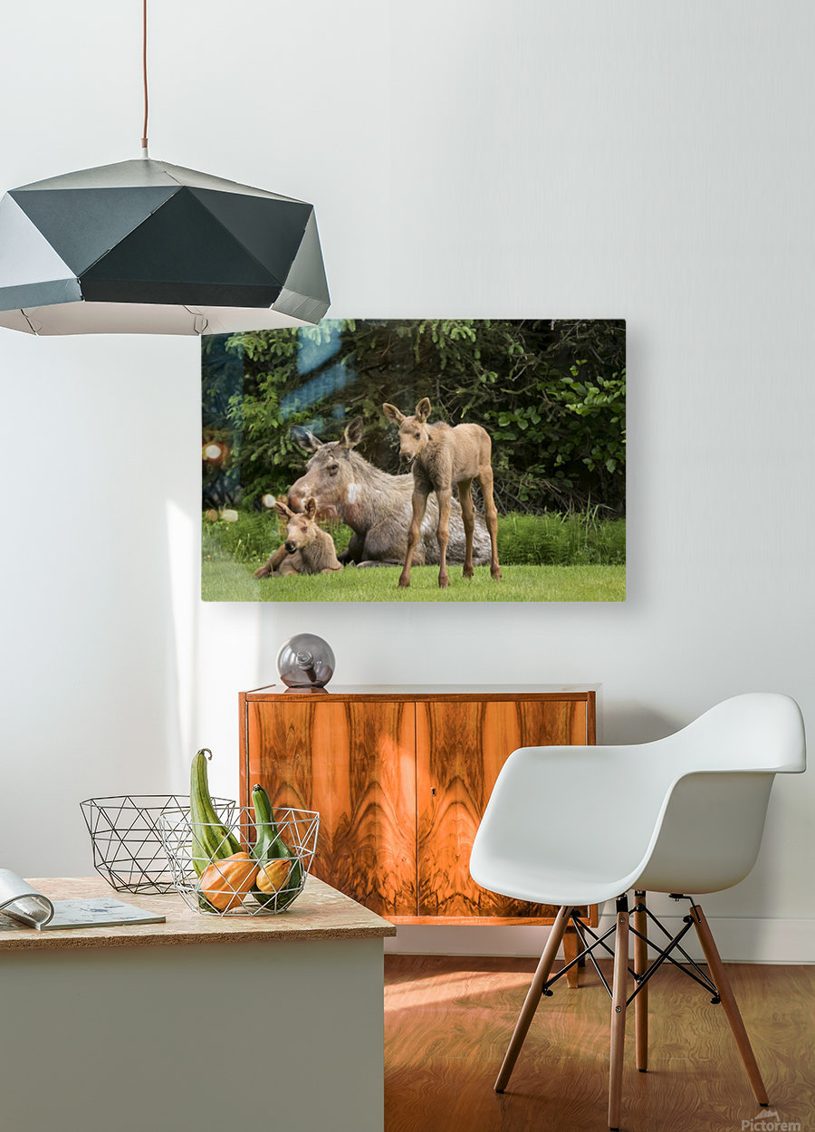 A cow moose (alces alces) relaxes on a lawn with her twin calves; Anchorage, Alaska, United States of America  HD Metal print with Floating Frame on Back