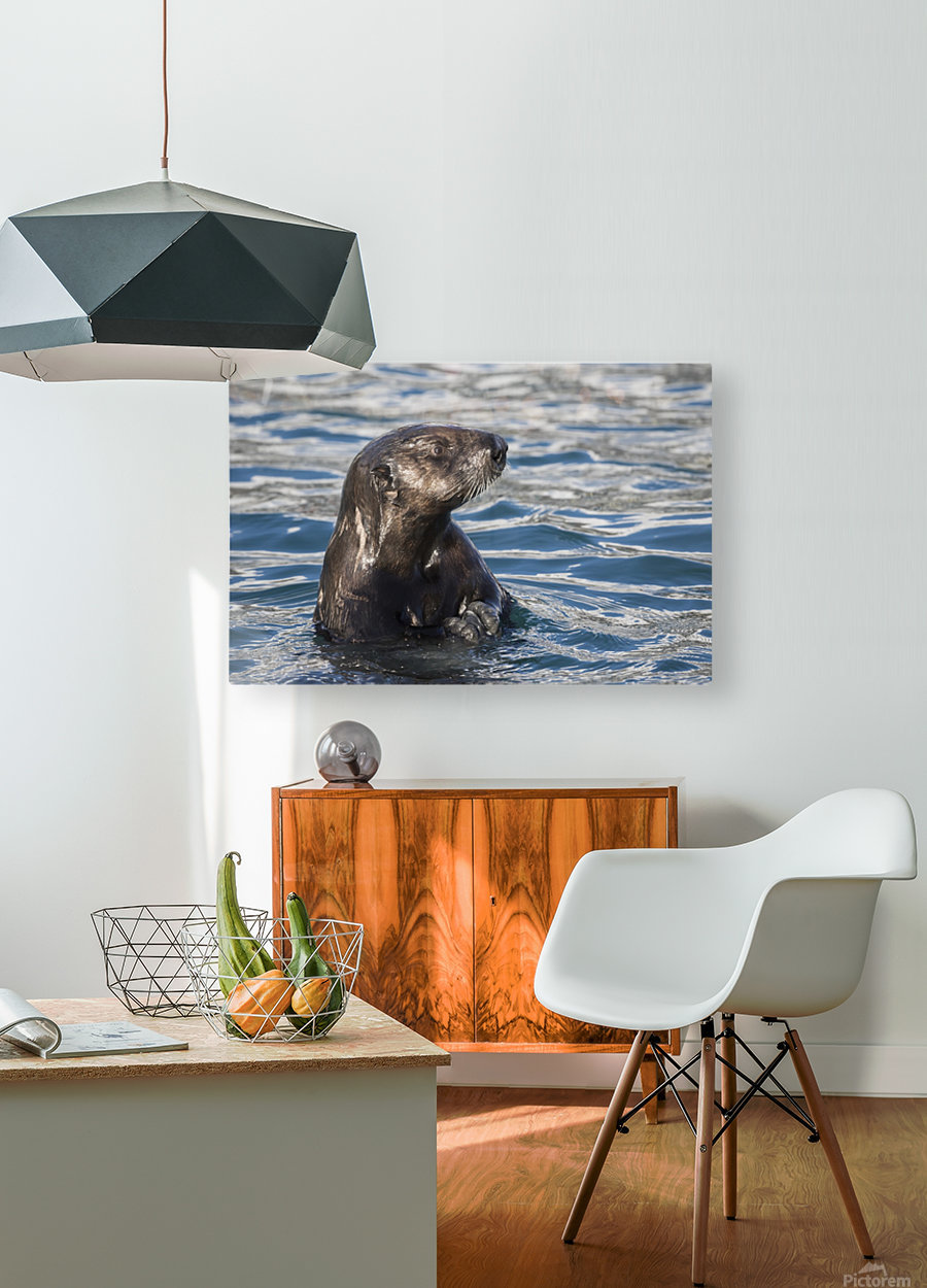 Sea Otter (Enhydra lutris) swims in Resurrection Bay near Seward small boat harbour in south-central Alaska; Seward, Alaska, United States of America  HD Metal print with Floating Frame on Back