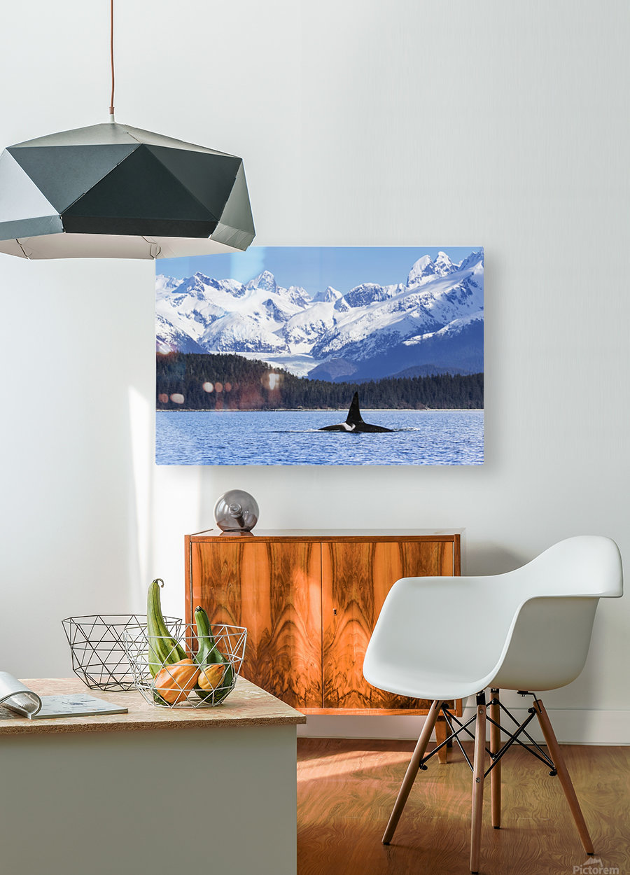 An Orca Whale (Killer Whale) (Orcinus orca), male as indicated by the height of it's dorsal fin, surfaces in Lynn Canal, Herbert Glacier, Inside Passage; Alaska, United States of America  HD Metal print with Floating Frame on Back