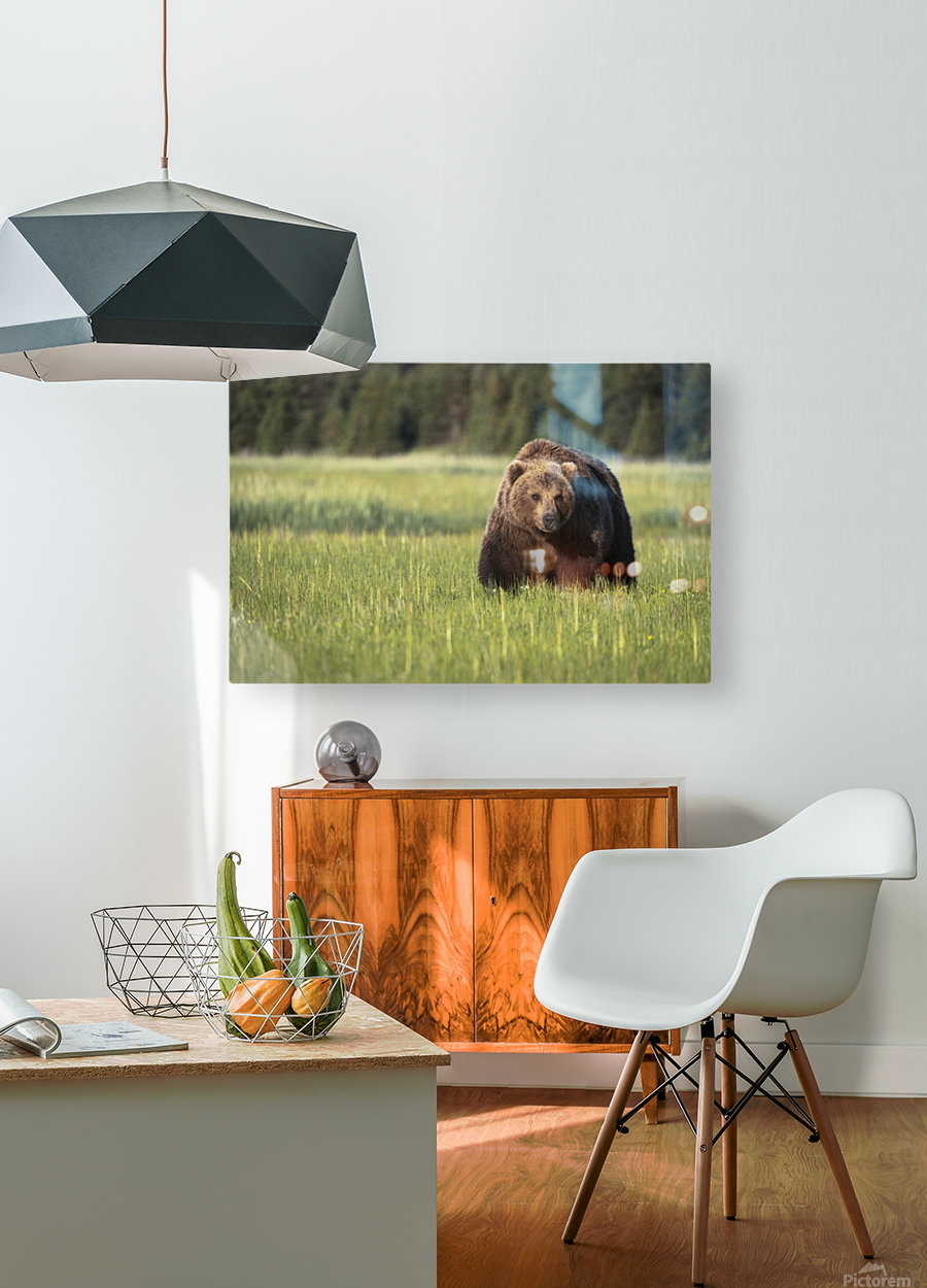 Brown bear (ursus arctos) in Lake Clark National Park; Alaska, United States of America  HD Metal print with Floating Frame on Back