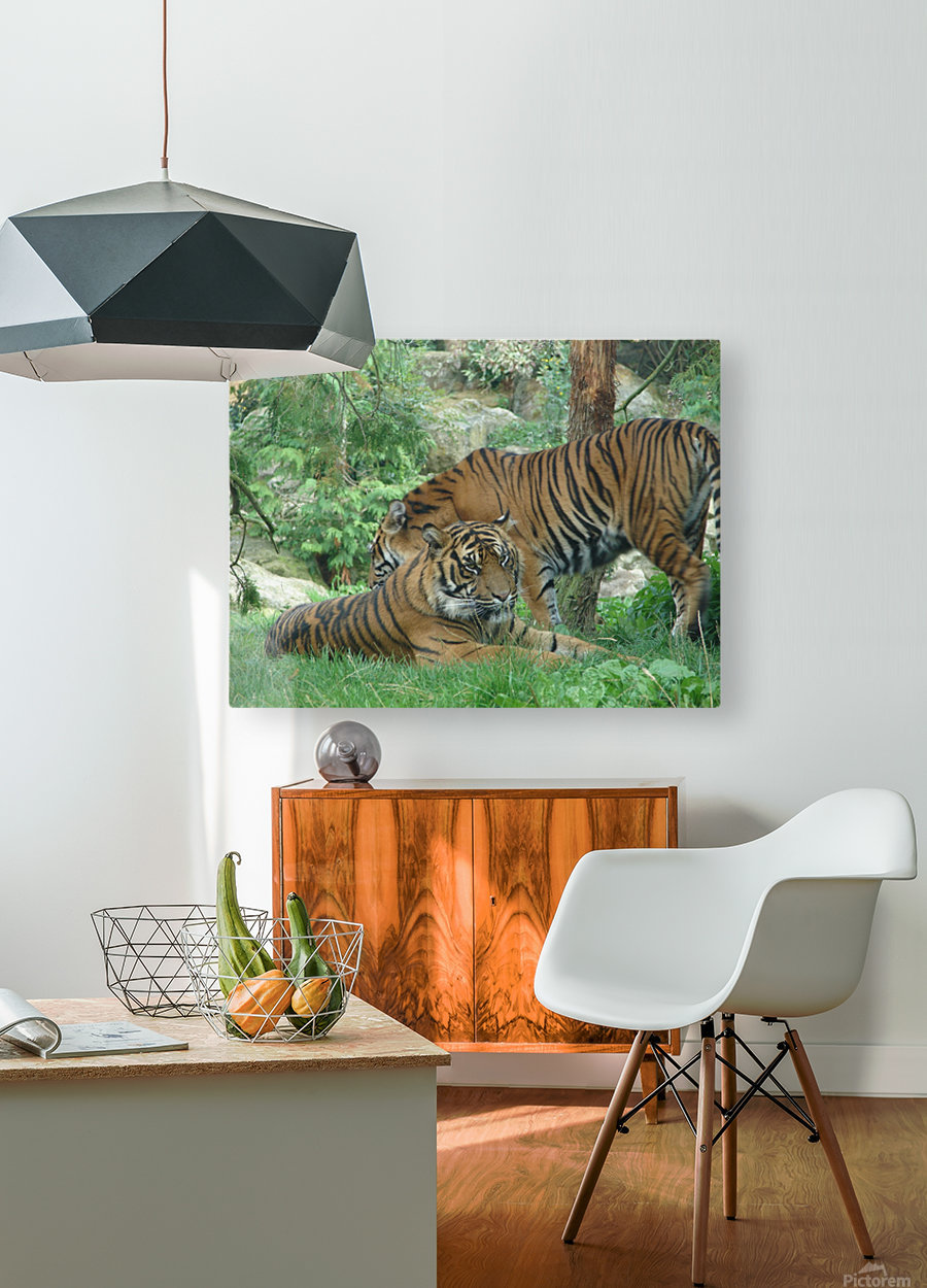 Tigers  HD Metal print with Floating Frame on Back