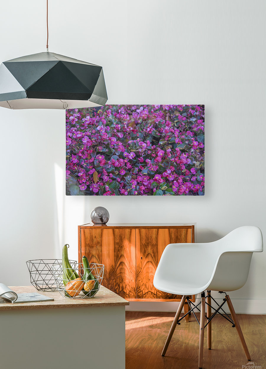Bubble Gum Begonia  HD Metal print with Floating Frame on Back