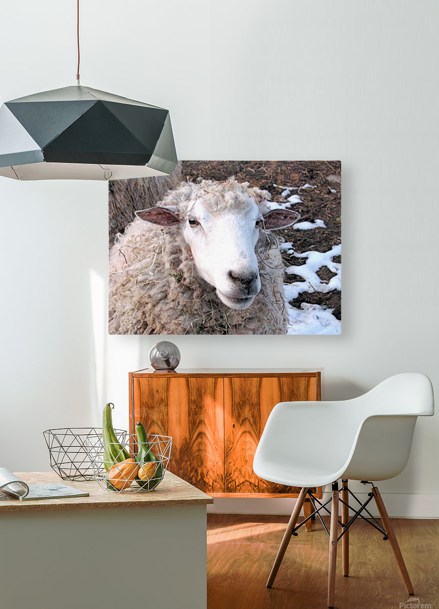 Lamb in the Winter VP1  HD Metal print with Floating Frame on Back