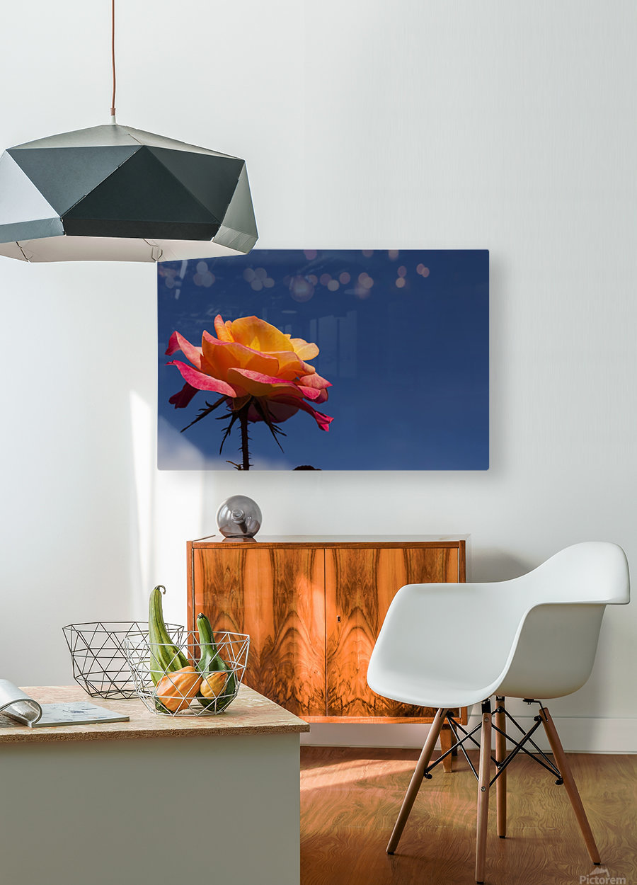 Pink and Orange Rose with Blue Sky  HD Metal print with Floating Frame on Back