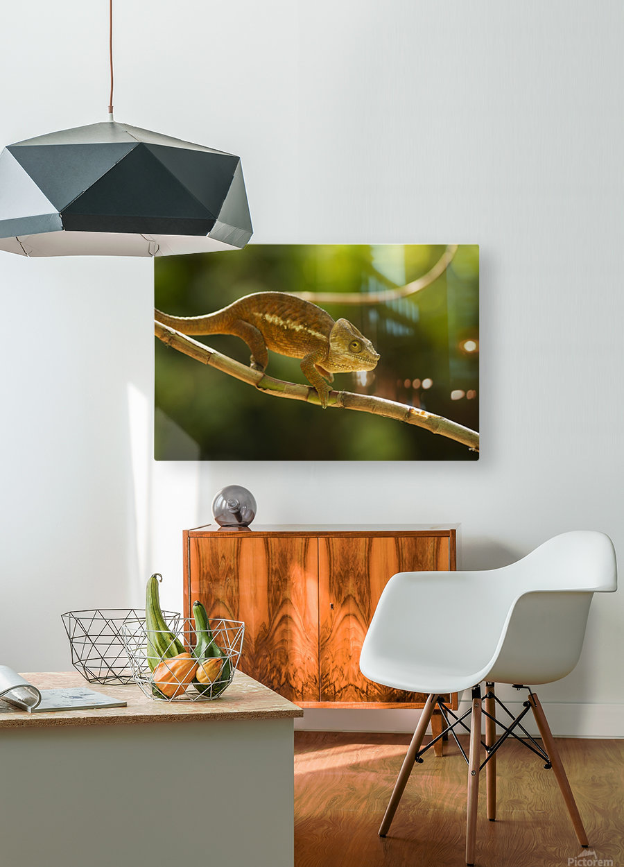 Chameleon in his natural habitat, Madagascar  HD Metal print with Floating Frame on Back