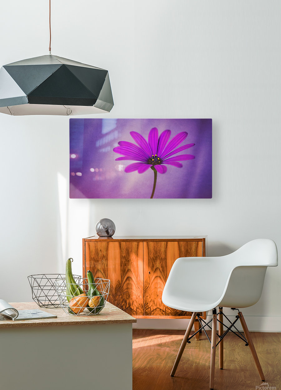 Purple Osteospermum  HD Metal print with Floating Frame on Back