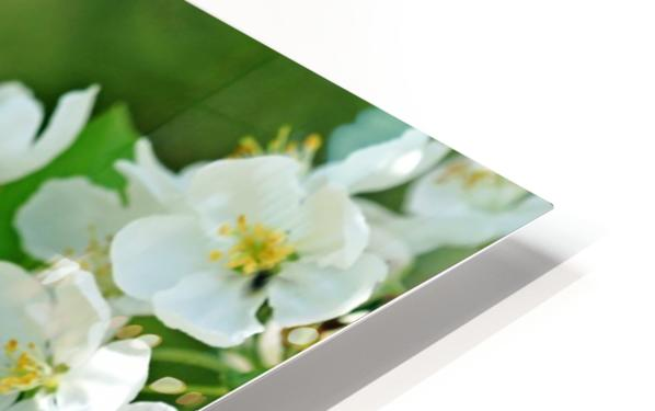 Crabapple Blossoms HD Sublimation Metal print