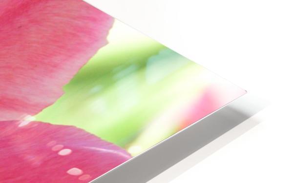 Beautiful Pink Tulip Photograph HD Sublimation Metal print