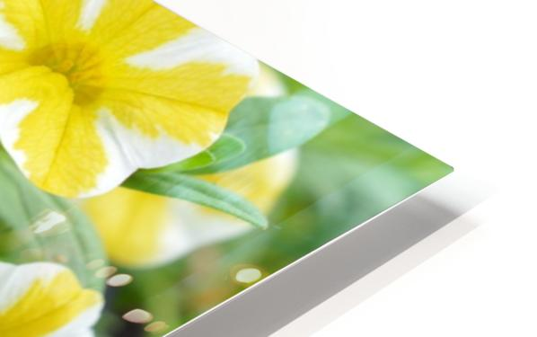Beautiful Blue Flower In Yellow Flower Garden Photograph HD Sublimation Metal print