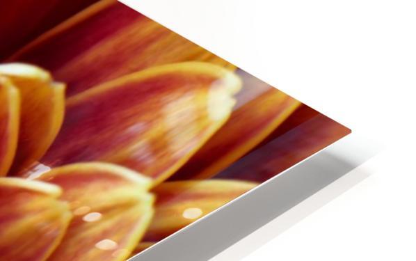 Golden Chrysanthemum HD Sublimation Metal print