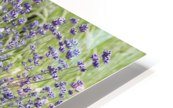 Lavender plants 7 HD Sublimation Metal print