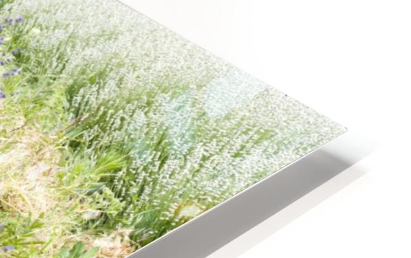 Lavender plants 1 HD Sublimation Metal print