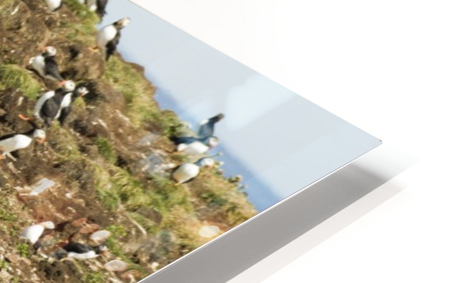 Puffins being puffins HD Sublimation Metal print