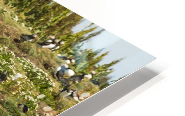 Puffins being puffins 2 HD Sublimation Metal print