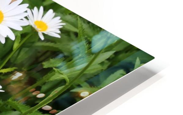 Dow Gardens Daisies 062618 HD Sublimation Metal print