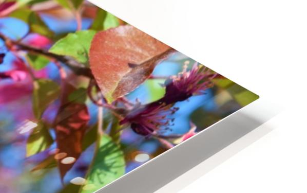 Ticonderoga Crab Apple Flowers in May HD Sublimation Metal print