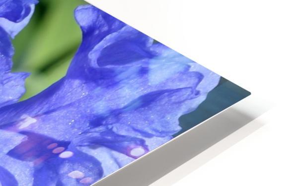 Metoleus Blue Bearded Iris HD Sublimation Metal print