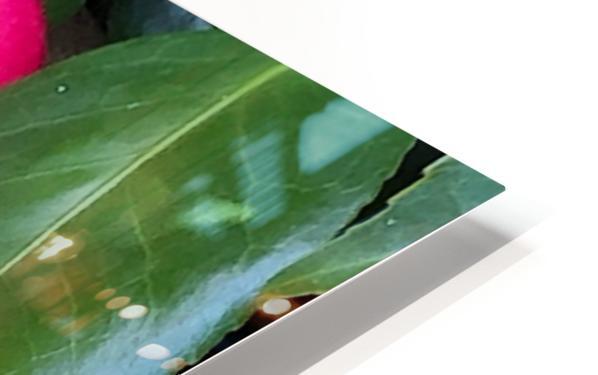 Japanese Camellia HD Sublimation Metal print