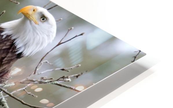 Bald Eagles HD Sublimation Metal print