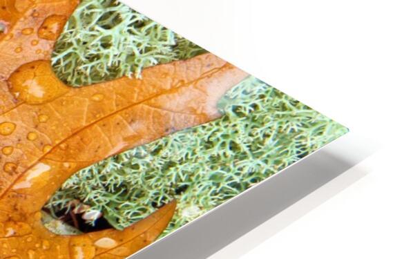 Pin Oak Leaf ap 1557 HD Sublimation Metal print
