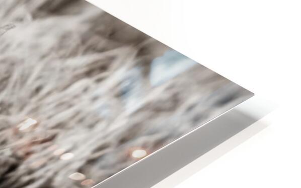 Mallard Pair ap 1775 B&W HD Sublimation Metal print