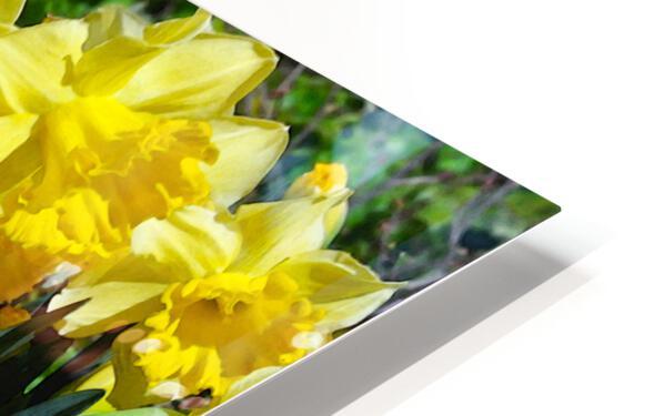 Yellow Daffodils wc HD Sublimation Metal print
