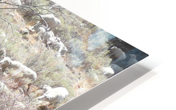 Sheep Huddle HD Sublimation Metal print