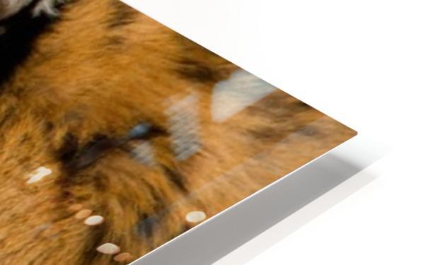 Tiger HD Sublimation Metal print