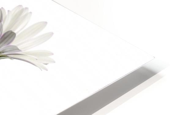 Cape Daisies HD Sublimation Metal print