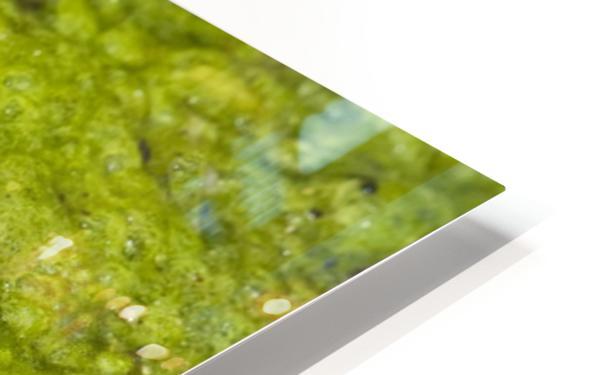 A Rio Grande Leopard Frog Sitting On A Bed Of Algae HD Sublimation Metal print