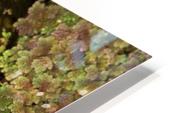 American Bullfrog (Rana Catesbeiana), California, Usa ; Bullfrog Hiding In Duckweed HD Sublimation Metal print