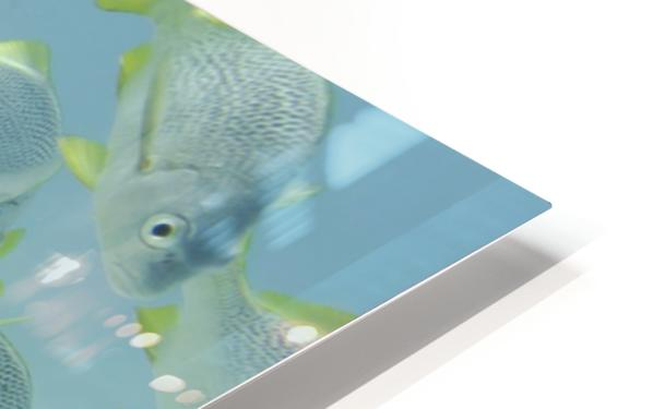 Yellow-Tailed Grunt Fish (Anisotremus Interruptus); Galapagos, Equador HD Sublimation Metal print
