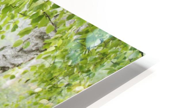 Birch trees in fog;Thunder bay ontario canada HD Sublimation Metal print