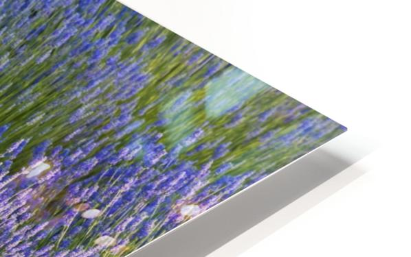 Rows of lavender plants in a field in the cowichan valley;Vancouver island british columbia canada HD Sublimation Metal print