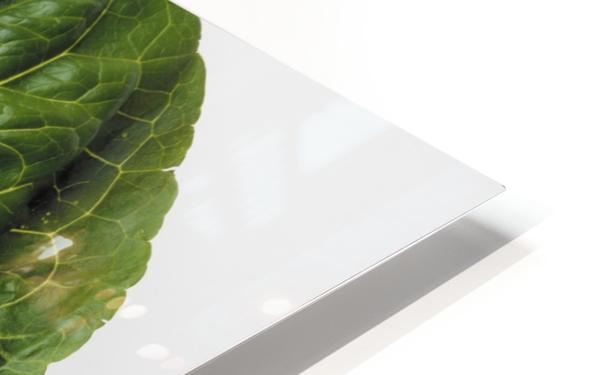 Agriculture - Closeup of a Romaine lettuce leaf on a white surface, studio. HD Sublimation Metal print