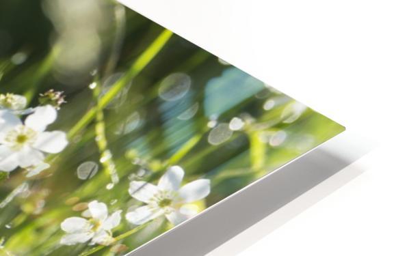 Buttercup (Ranunculus platanifolius); Black Forest, Germany HD Sublimation Metal print