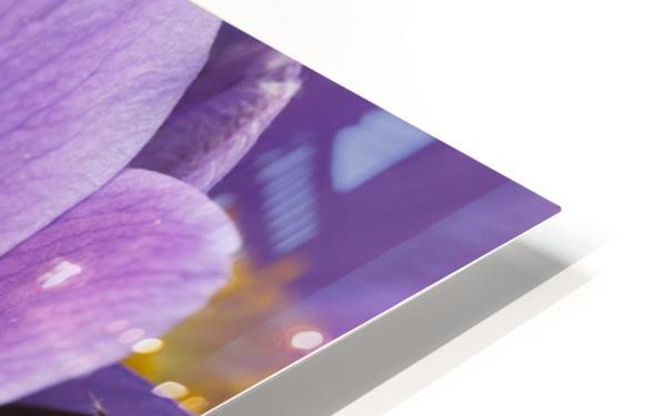 Crocus; Yukon, Canada HD Sublimation Metal print