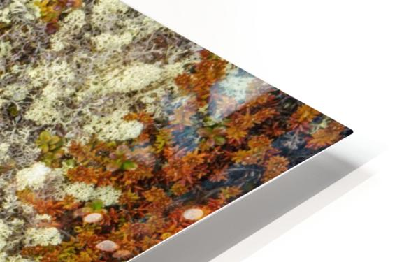 Caribou Moss and lichen grow abundatly in the tundra along the Dempster Highway, northern Yukon; Yukon, Canada HD Sublimation Metal print