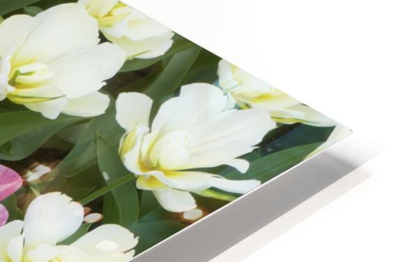 Flowers at Keukenhof Gardens; Amsterdam, Holland HD Sublimation Metal print