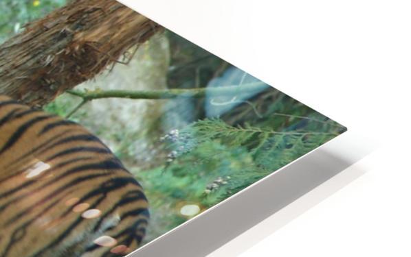 Tigers HD Sublimation Metal print