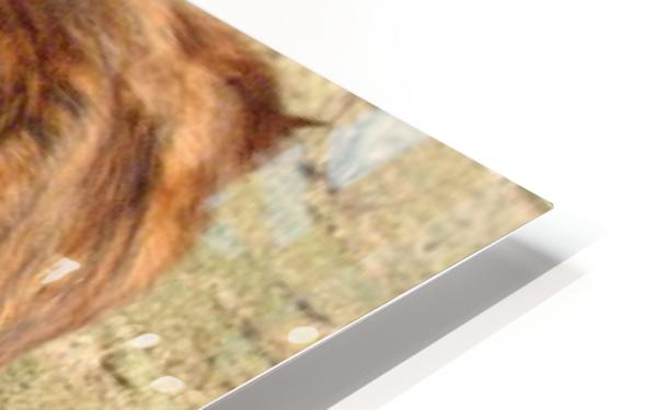 Bull in the Spring VP1 HD Sublimation Metal print