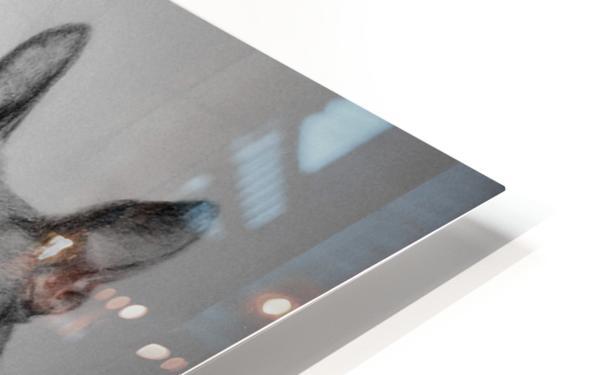 Boston Terriers HD Sublimation Metal print