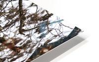 Bald Eagle (Haliaeetus leucocephalus) perched in a tree, Cowichan Bay; British Columbia, Canada HD Metal print